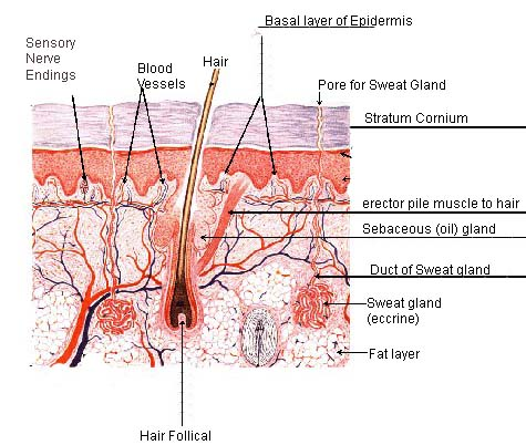 Skin Physiology | Functions of Skin of Human Body | Types of Skin Glands